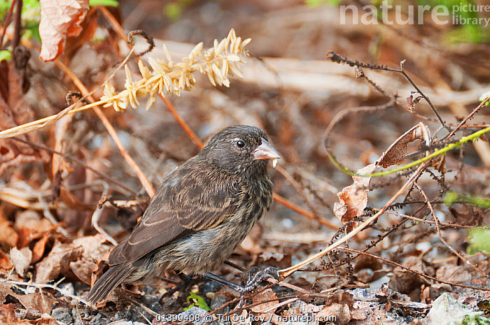 Sharp-beaked ground finch (Geospiza difficilis) Galapagos islands  ,  BIRDS,Emberizidae,FINCHES,GALAPAGOS,PORTRAITS,songbirds,SOUTH AMERICA,VERTEBRATES  ,  Tui De Roy
