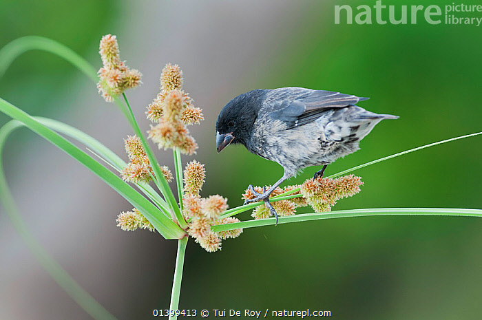 Small ground finch (Geospiza fuliginosa) foraging on grass flowers. Santa Cruz Island, Galapagos, June.  ,  BIRDS,Ecuador,Emberizidae,FINCHES,FLOWERS,FORAGING,GALAPAGOS,Grass,songbirds,SOUTH AMERICA,VERTEBRATES,Plants  ,  Tui De Roy