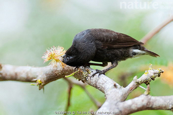 Small ground finch (Geospiza fuliginosa) feeing on flower. Santa Cruz Island, Galapagos, November., BEHAVIOUR,BIRDS,Ecuador,Emberizidae,FEEDING,FINCHES,FLOWERS,GALAPAGOS,songbirds,SOUTH AMERICA,VERTEBRATES, Tui De Roy