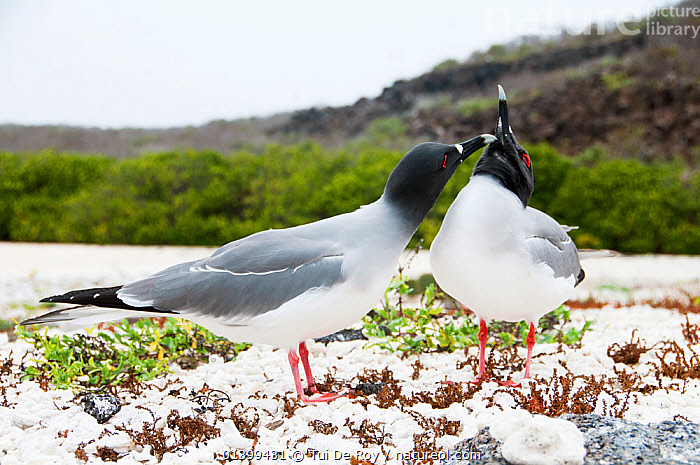 Swallow-tailed gull (Creagrus furcatus) grooming its mate. Espanola Island, Galapagos, Ecuador, May., AFFECTIONATE,BIRDS,COURTSHIP,Ecuador,FRIENDS,GALAPAGOS,GROOMING,GULLS,Laridae,MALE FEMALE PAIR,SEABIRDS,SOUTH AMERICA,two,VERTEBRATES,SOUTH-AMERICA, Tui De Roy
