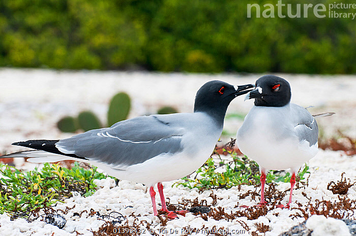Swallow-tailed gull (Creagrus furcatus) grooming its mate. Espanola Island, Galapagos, Ecuador, May.  ,  AFFECTIONATE,BIRDS,COURTSHIP,Ecuador,FRIENDS,GALAPAGOS,GROOMING,GULLS,Laridae,MALE FEMALE PAIR,SEABIRDS,SOUTH AMERICA,two,VERTEBRATES,SOUTH-AMERICA  ,  Tui De Roy
