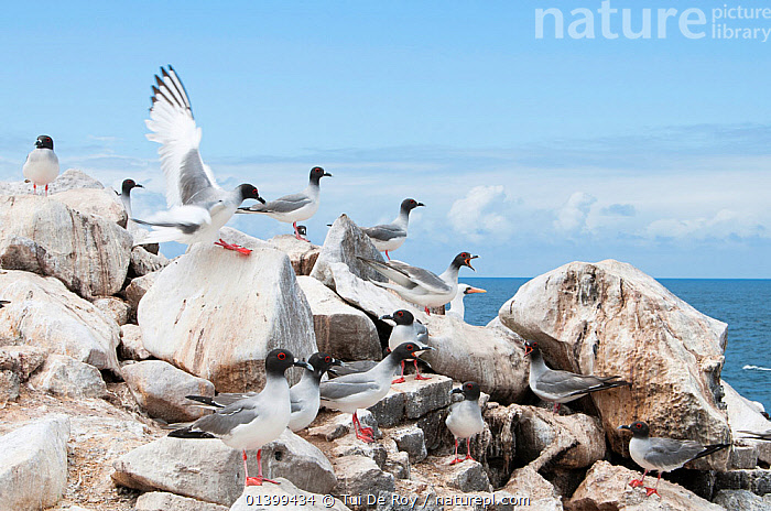 Swallow-tailed gull (Creagrus furcatus) flock on coastal rocks. Espanola Island, Galapagos, Ecuador, May., BIRDS,COASTS,Ecuador,GALAPAGOS,GROUPS,GULLS,Laridae,SEABIRDS,SOUTH AMERICA,VERTEBRATES,SOUTH-AMERICA, Tui De Roy