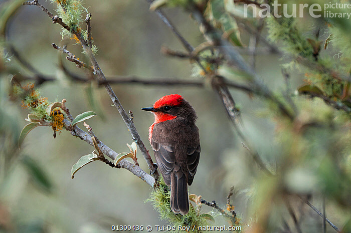 Vermilion flycatcher (Pyrocephalus rubinus) male perched. Galapagos Islands, Ecuador, December., BIRDS,Ecuador,FLYCATCHERS,GALAPAGOS,MALES,Rear view,RED,songbirds,SOUTH AMERICA,Tyrannidae,VERTEBRATES, Tui De Roy