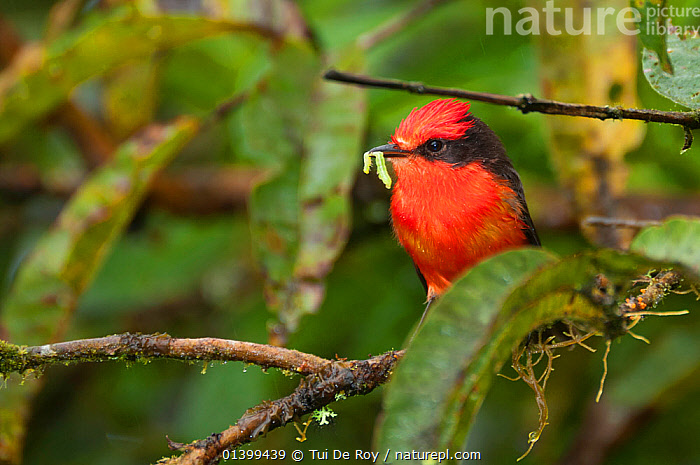 Vermilion flycatcher (Pyrocephalus rubinus) male with invertebrate prey in beak. Galapagos Islands, Ecuador, December., BEHAVIOUR,BIRDS,Ecuador,FEEDING,FLYCATCHERS,FORAGING,GALAPAGOS,MALES,songbirds,SOUTH AMERICA,Tyrannidae,VERTEBRATES, Tui De Roy