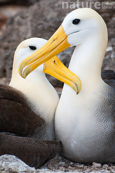 Waved albatross (Phoebastria irrorata) courting pair mutually grooming. Punta Cevallos, Espanola (Hood) Island, Galapagos, Ecuador, May., AFFECTIONATE,ALBATROSSES,BEHAVIOUR,BIRDS,COURTSHIP,CRITICALLY ENDANGERED,DIOMEDEA IRRORATA,DIOMEDIEDAE,Ecuador,GALAPAGOS,MALE FEMALE PAIR,PORTRAITS,SEABIRDS,SOUTH AMERICA,two,VERTEBRATES,VERTICAL,SOUTH-AMERICA, Tui De Roy
