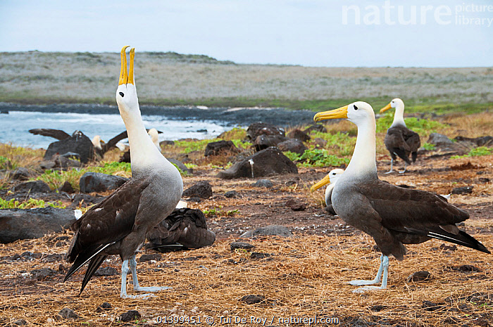 Waved albatross (Phoebastria irrorata) performing display, courting partner with colony in background. Punta Cevallos, Espanola (Hood) Island, Galapagos, Ecuador, May. Sequence 1 of 3.  ,  ALBATROSSES,BEHAVIOUR,BIRDS,COASTS,colonies,COURTSHIP,CRITICALLY ENDANGERED,DIOMEDEA IRRORATA,DIOMEDIEDAE,DISPLAY,Ecuador,GALAPAGOS,GROUPS,MALE FEMALE PAIR,SEABIRDS,SEQUENCE,SOUTH AMERICA,two,VERTEBRATES,Communication,SOUTH-AMERICA  ,  Tui De Roy