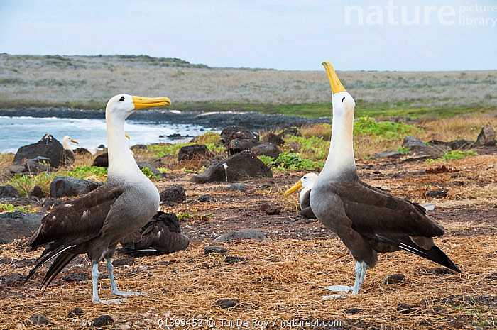 Waved albatross (Phoebastria irrorata) performing display, courting partner with colony in background. Punta Cevallos, Espanola (Hood) Island, Galapagos, Ecuador, May. Sequence 2 of 3.  ,  ALBATROSSES,BEHAVIOUR,BIRDS,colonies,COURTSHIP,CRITICALLY ENDANGERED,DIOMEDEA IRRORATA,DIOMEDIEDAE,Ecuador,GALAPAGOS,MALE FEMALE PAIR,SEABIRDS,SEQUENCE,SOUTH AMERICA,two,VERTEBRATES,SOUTH-AMERICA  ,  Tui De Roy