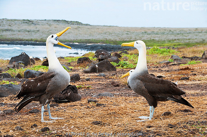 Waved albatross (Phoebastria irrorata) performing display, courting partner with colony in background. Punta Cevallos, Espanola (Hood) Island, Galapagos, Ecuador, May. Sequence 3 of 3., ALBATROSSES,BEHAVIOUR,BIRDS,colonies,COURTSHIP,CRITICALLY ENDANGERED,DIOMEDEA IRRORATA,DIOMEDIEDAE,Ecuador,GALAPAGOS,MALE FEMALE PAIR,SEABIRDS,SEQUENCE,SOUTH AMERICA,two,VERTEBRATES,SOUTH-AMERICA, Tui De Roy