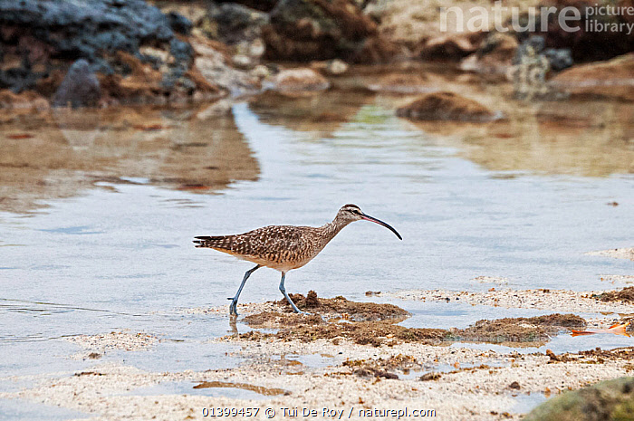 Whimbrel (Numenius phaeopus) wading,  Galapagos islands  ,  BIRDS,COASTS,CURLEWS,GALAPAGOS,SOUTH AMERICA,VERTEBRATES,WADERS,WATER  ,  Tui De Roy