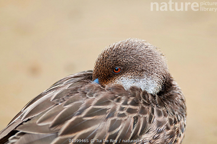 White-cheeked pintail (Anas bahamensis) resting with beak in plumage. Galapagos Islands, Ecuador, November.  ,  BIRDS,DUCKS,Ecuador,GALAPAGOS,resting,SOUTH AMERICA,VERTEBRATES,WATERFOWL  ,  Tui De Roy