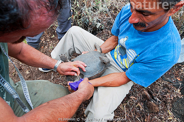 Wolf Volcano giant tortoise (Chelonoidis nigra becki) Galapagos National Park team, taking blood samples for DNA analysis, Isabela Island, Galapagos, GALAPAGOS, MAN, PEOPLE, REPTILES, SOUTH-AMERICA, TORTOISES, two, VERTEBRATES, Vulnerable,Chelonia,Dogs,Canids, Tui De Roy