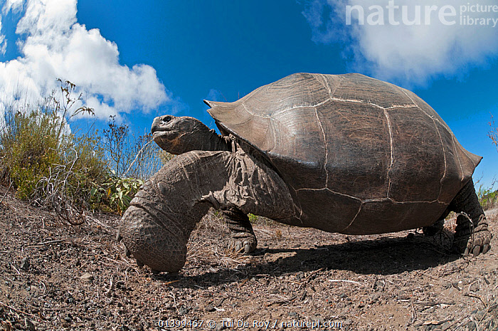 Wolf Volcano giant tortoise (Chelonoidis nigra becki) portrait, Isabela Island, Galapagos, CLOUDS, GALAPAGOS, LOW-ANGLE-SHOT, PORTRAITS, REPTILES, SOUTH-AMERICA, TORTOISES, VERTEBRATES, Vulnerable,Weather,Chelonia,Dogs,Canids, Tui De Roy
