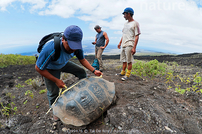 Wolf Volcano giant tortoise (Chelonoidis nigra becki) being measured by Galapagos National Park Team,  Isabela Island, Galapagos, CONSERVATION, GALAPAGOS, LANDSCAPES, MAN, MEN, NP, PEOPLE, REPTILES, RESEARCH, RESERVE, SCIENCE, SOUTH-AMERICA, THREE, TORTOISES, VERTEBRATES, Vulnerable,National Park,Chelonia,Dogs,Canids, Tui De Roy