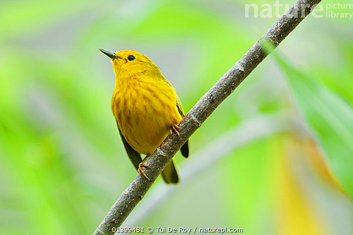 Yellow warbler (Dendroica petechia) male, perched in foliage, Cerro Paja, Floreana Island, Galapagos Islands, Ecuador, June., BIRDS, Ecuador, GALAPAGOS, Parulidae, PORTRAITS, Setophaga petechia, songbirds, SOUTH-AMERICA, VERTEBRATES, WARBLERS, Tui De Roy