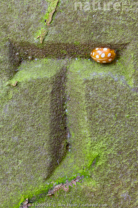 Orange 16-Spot Ladybird (Halyzia 16-guttata / sedecimguttata) overwintering in recess of carved letter on a gravestone. Peak District National Park, Derbyshire, UK, March 2012., BEETLES,COLEOPTERA,DERBYSHIRE,ENGLAND,EUROPE,GRAVESTONES,HIBERNATION,INSECTS,INVERTEBRATES,LADYBIRDS,MACRO,NP,OVERWINTERING,RESERVE,UK,VERTICAL,National Park,United Kingdom, Alex Hyde