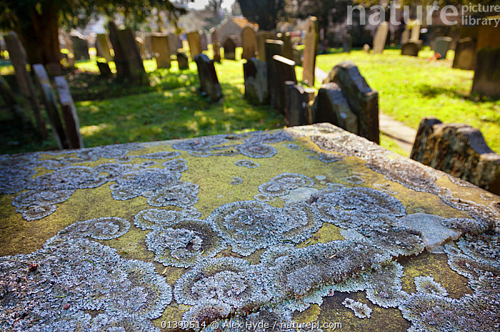 Lichen (Parmelia saxatilis) growing on gravestone in churchyard. Peak District National Park, Derbyshire, UK, March 2012.  ,  CLADONIACEAE, Derbyshire, ENGLAND, EUROPE, FUNGI, gravestones, graveyards, NP, PATTERNS, PLANTS, RESERVE, symbionts, SYMBIOSIS, UK,National Park,Concepts,Partnership,United Kingdom  ,  Alex Hyde