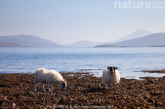 Sheep (Ovis aries) feeding on seaweed at low tide. Isle of Skye, Inner Hebrides, Scotland, UK, March 2012.  ,  ARTIODACTYLA,BEACHES,BEHAVIOUR,BOVIDAE,COASTS,EUROPE,INNER HEBRIDES,LANDSCAPES,LIVESTOCK,LOOKING AT CAMERA,MAMMALS,SCOTLAND,SEASCAPES,SHEEP,TWO,UK,VERTEBRATES,United Kingdom,Goats,Antelopes  ,  Alex Hyde