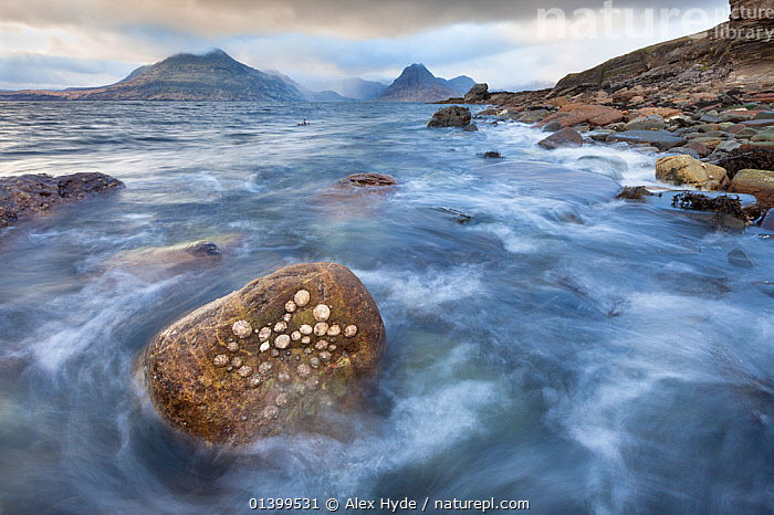 Common Limpets (Patella vulgata) on rock in intertidal zone as the tide comes in. Elgol, Isle of Skye, Inner Hebrides, Scotland, UK, March 2012., ATMOSPHERIC,BEACHES,COASTS,EUROPE,HABITAT,INVERTEBRATES,LANDSCAPES,LIMPETS,LITTORAL,MOLLUSCS,MOTION BLUR,MOTION BLUR,MOUNTAINS,ROCKS,SEASCAPES,SHELLFISH,SHELLS,UK,WIDE ANGLE,SCOTLAND,Intertidal,United Kingdom, Alex Hyde