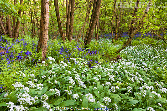 Wild garlic / Ramsons / Bear Garlic (Allium ursinum) and Bluebells (Endymion nonscriptus) flowering in deciduous woodland. Peak District National Park, Derbyshire, UK, May, 2009.  ,  DERBYSHIRE,ENGLAND,EUROPE,FLOWERS,FORESTS,HABITAT,LANDSCAPES,LILIACEAE,MIXED SPECIES,MONOCOTYLEDONS,NP,PLANTS,RESERVE,SPRING,UK,UNDERSTOREY,UNDERSTORY,WOODLANDS,National Park,United Kingdom  ,  Alex Hyde