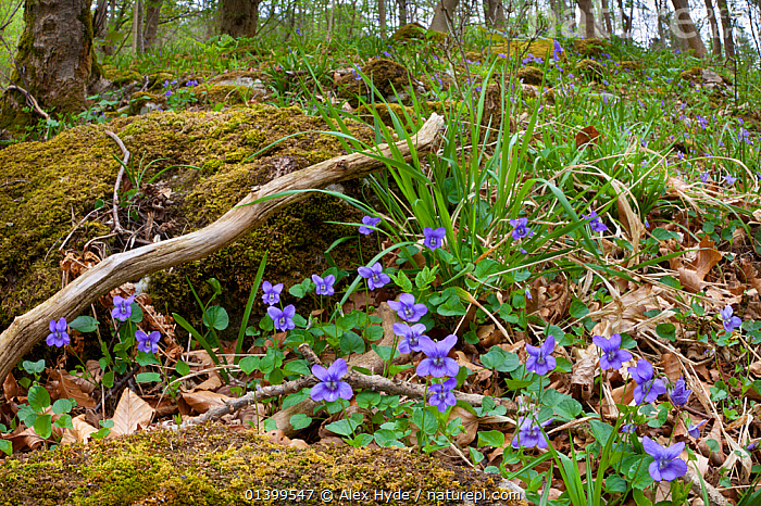 Wood Violet / Common Dog Violet (Viola riviniana) flowering in deciduous woodland. Yorkshire Dales National Park, UK, April., BLUE,DICOTYLEDONS,ENGLAND,EUROPE,FLOWERS,FORESTS,NP,PLANTS,RESERVE,UK,VIOLACEAE,WOODLANDS,YORKSHIRE,National Park,United Kingdom, Alex Hyde