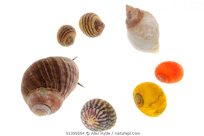 Selection of gastropods commonly found in rockpools, clockwise from top left: Periwinkle (Littorina compressa / nigrolineata), Dogwhelk (Nucella lapillus / Thaius lapillus), Common Flat Periwinkle (Littorina obtusata), Purple Topshell (Gibbula umbilicalis), Edible Periwinkle (Littorina littorea) against white background. From the Isle of Skye, Inner Hebrides, Scotland, UK.  ,  CUTOUT,EUROPE,GASTROPODS,HEBRIDES,IDENTIFICATION,INNER,INTER TIDAL,INVERTEBRATES,ISLE,LITTORAL,MARINE,MIXED SPECIES,MOLLUSCS,ROCKPOOLS,SCOTLAND,SEA SNAILS,SEVEN,SHELLS,SKYE,SNAILS,TIDEPOOLS,UK,WHITE,WHITE BACKGROUND,Intertidal,United Kingdom  ,  Alex Hyde