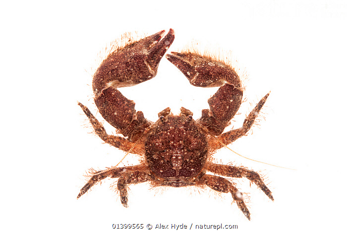 Broad-clawed Porcelain Crab (Porcellana platycheles) against white background. From the Isle of Skye, Inner Hebrides, Scotland, UK.  ,  CLAWS,CRUSTACEANS,CUTOUT,EUROPE,INTER TIDAL,INVERTEBRATES,LITTORAL,MARINE,PORCELAIN CRABS,SCOTLAND,UK,WHITE BACKGROUND,Intertidal,United Kingdom  ,  Alex Hyde