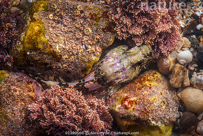 Sea Scorpion / Bullfish (Taurulus bubalis) hiding in rock crevice. Isle of Skye, Inner Hebrides, Scotland, UK, March.  ,  BULLHEADS,CAMOUFLAGE,COTTIDAE,EUROPE,FISH,HIDDEN,HIDING,MARINE,OSTEICHTHYES,SCOTLAND,UK,UNDERWATER,VERTEBRATES,United Kingdom  ,  Alex Hyde