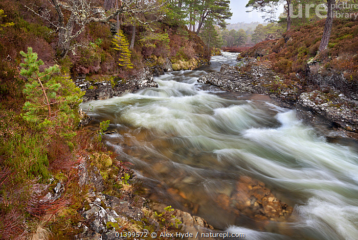 River cutting through Caledonian pine forest. Braemar, Cairngorms National Park, Grampian Mountains, Scotland, UK, February 2012.  ,  EUROPE,HIGHLANDS,LANDSCAPES,MOTION BLUR,NP,RAPIDS,RESERVE,RIVERS,SCOTLAND,STREAMS,UK,National Park,United Kingdom  ,  Alex Hyde