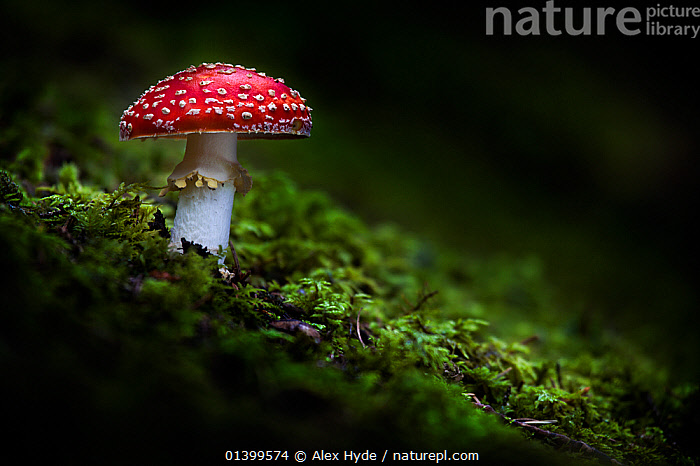 Fly Agaric (Amanita muscaria) toadstool growing on moss. Nordtirol, Tirol, Austrian Alps, Austria, August.  ,  AMANITACEAE,AUSTRIA,COPYSPACE,EUROPE,FUNGI,RED  ,  Alex Hyde