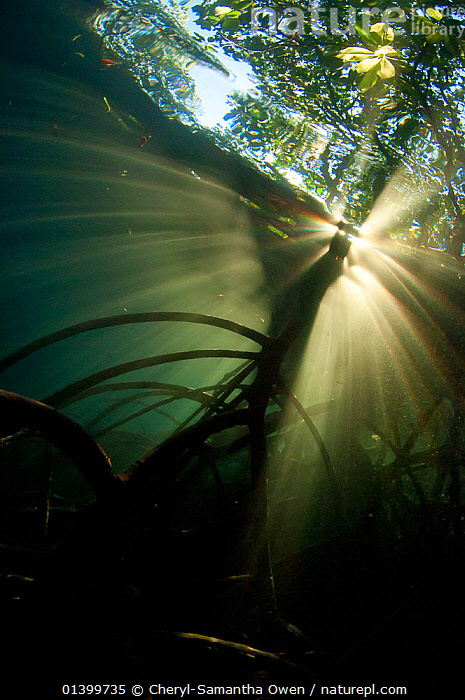 Nature Picture Library Looking Up At Mangrove Forest From