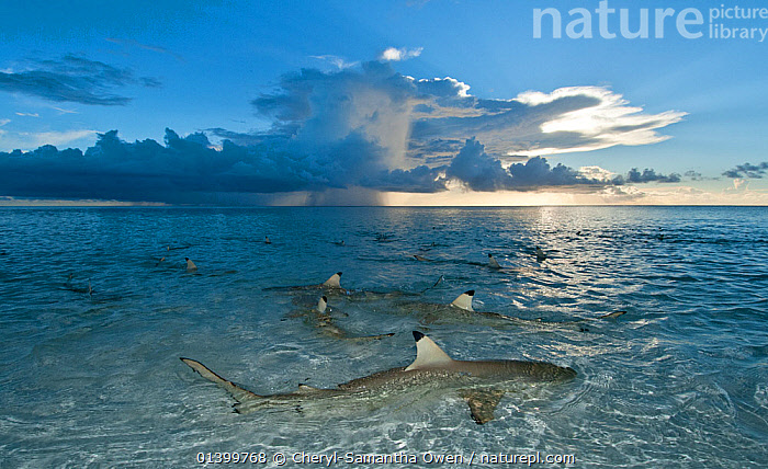 Nature Picture Library - Blacktip reefs shark (Carcharhinus