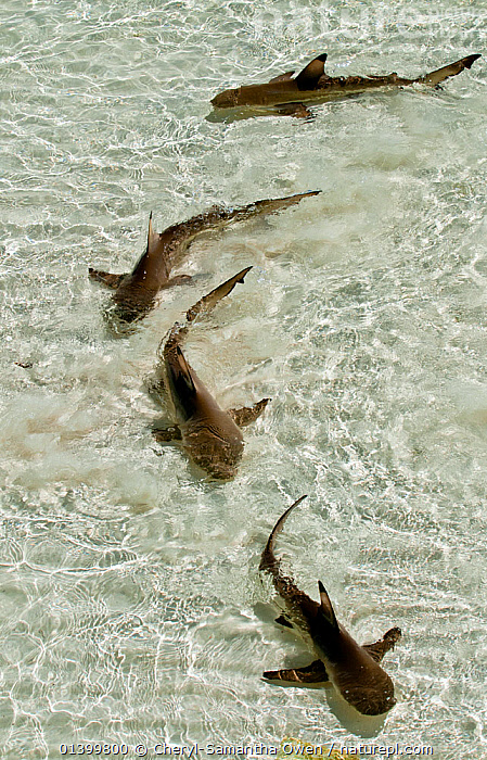 Blacktip reef sharks (Carcharhinus melanopterus) swimming in shallow crystal clear water, Aldabra Atoll, Seychelles, Indian Ocean, CARCHARHINIDAE,CHONDRICHTHYES,FISH,FOUR,GROUPS,INDIAN OCEAN,INDIAN OCEAN ISLANDS,MARINE,SEYCHELLES,SHALLOWS,SHARKS,TROPICAL,TROPICS,VERTEBRATES,VERTICAL,WATER,Catalogue5, Cheryl-Samantha Owen