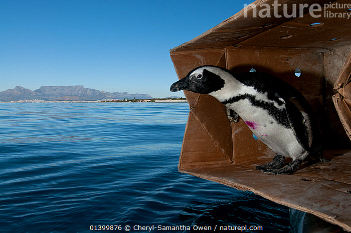 Black footed penguin (Spheniscus demersus) about to be released at sea near Robben Island in Table Bay, after rehabilitation at Southern African Foundation for the Conservation of Coastal Birds (SANCCOB) Cape Town, South Africa, AFRICAN,BIRDS,BOXES,CONSERVATION,FLIGHTLESS,JACKASS PENGUIN,MARINE,PENGUINS,PROJECT,REHABILITATION,RELEASE,SEA,SEABIRDS,SOUTH AFRICA,SOUTHERN AFRICA,VERTEBRATES,WATER,Catalogue5, Cheryl-Samantha Owen