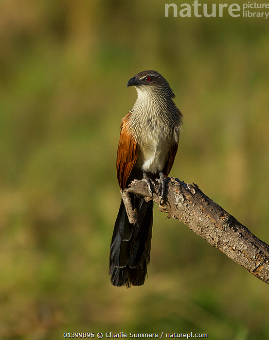 White browed Coucal (Centropus superciliosus) perched on a broken branch. Arusha National Park, Tanzania.  ,  AFRICA,BIRDS,CUCKOOS,CUCULIDAE,EAST AFRICA,NP,PORTRAITS,RESERVE,TANZANIA,VERTEBRATES,VERTICAL,National Park  ,  Charlie Summers