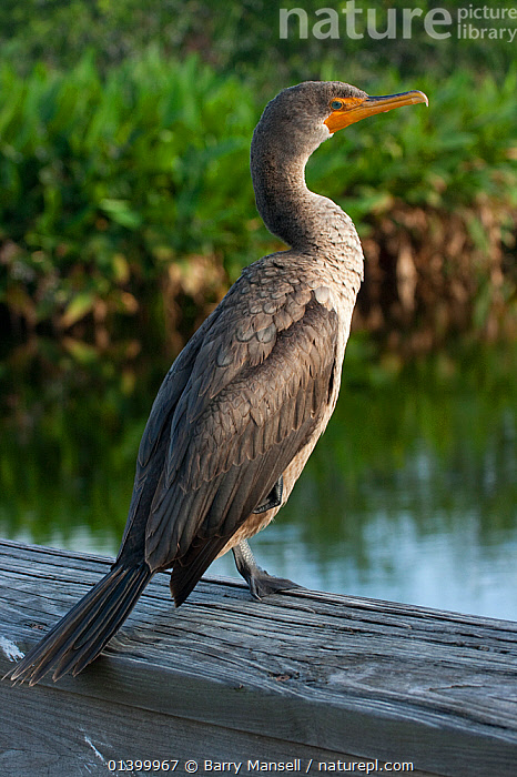 Double-crested Cormorant (Phalacrocorax auritus) Everglades National Park, South Florida, USA. May  ,  BIRDS,CORMORANTS,NORTH AMERICA,NP,PORTRAITS,PROFILE,RESERVE,RIVERS,SEABIRDS,USA,VERTEBRATES,VERTICAL,WATER,National Park  ,  Barry Mansell