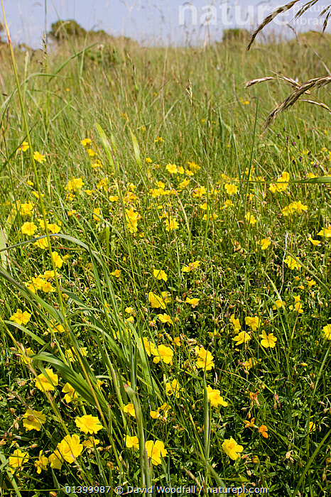 Common Rockrose (Helianthemum nummularium ) growing in limestone grassland, Mumbles Head Nature reserve, near Swansea, Wales, UK, June  ,  CISTACEAE,DICOTYLEDONS,EUROPE,FLOWERS,FULL FRAME,MEADOWLAND,PLANTS,RESERVE,UK,VERTICAL,WALES,YELLOW,Grassland,United Kingdom  ,  David Woodfall