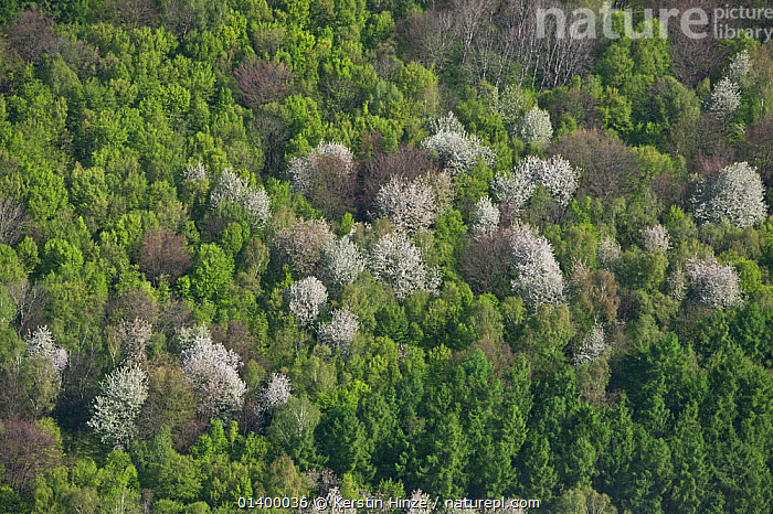 Aerial view of forest with white flowering wild Cherry Trees (Prunus) in spring. Elm, Lower Saxony, Germany, Europe, April 2012.  ,  AERIALS,BLOSSOM,DICOTYLEDONS,EUROPE,FORESTS,GERMANY,LANDSCAPES,PLANTS,ROSACEAE,WOODLANDS  ,  Kerstin Hinze
