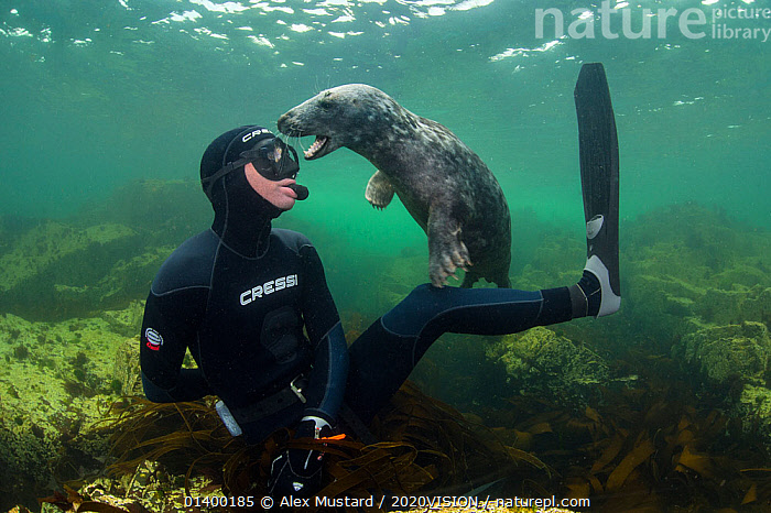 Young Grey seal (Halichoerus grypus) playing with snorkeller, Farne Islands, Northumberland, England, UK, July. Model released.  ,  2020VISION,ATLANTIC,CARNIVORES,COASTAL WATERS,DIVING,EUROPE,INTERACTION,MAMMALS,MARINE,MOUTHS,NORTH SEA,PEOPLE,PHOCIDAE,PINNIPEDS,PLAY,PLAYFUL,SEALS,SEAS,SURFACE,TEMPERATE,UK,UNDERWATER,VERTEBRATES,WATER PURSUITS,ENGLAND,Communication,United Kingdom,2020cc  ,  Alex Mustard / 2020VISION