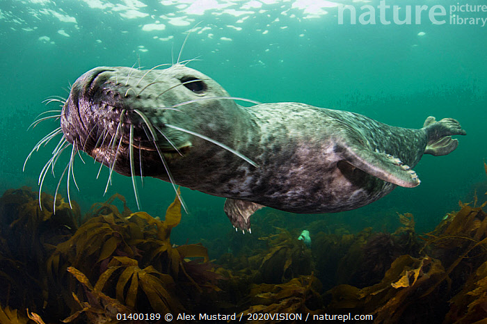 Female Grey seal (Halichoerus grypus) juvenile swimming over kelp, off Farne Islands, Northumberland, England, UK, July. Did you know? Grey seal milk is 60% fat and although they are fed milk for just 3 weeks, during this time they quadruple in size.  ,  2020VISION,ATLANTIC,CARNIVORES,CLOSE UPS,COASTAL WATERS,CURIOUS,EUROPE,FEMALES,PICDAY,JUVENILE,MAMMALS,MARINE,NORTH SEA,PHOCIDAE,PINNIPEDS,SEALS,SEAS,TEMPERATE,UK,UNDERWATER,VERTEBRATES,ENGLAND,United Kingdom,2020cc  ,  Alex Mustard / 2020VISION