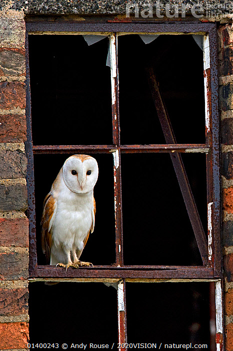 Barn Owl (Tyto alba) portrait perched in old window frame. Wales, UK, March., 2020VISION,BIRDS,BIRDS OF PREY,BUILDINGS,DERELICT,FARMLAND,LOOKING AT CAMERA,OWLS,PORTRAITS,TYTONIDAE,VERTEBRATES,VERTICAL,WALES,Europe,United Kingdom,Raptor,2020cc, Andy Rouse / 2020VISION