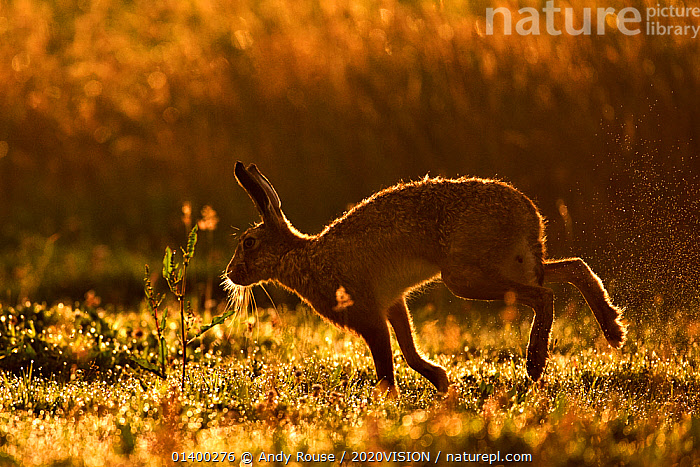 European Hare (Lepus europaeus) silhouetted at dawn. Wales, UK, August. Did you know? Unlike rabbits, hares do not dig warrens, just a shallow depression called a form., 2020VISION,BROWN HARE,DAWN,EUROPE,FARMLAND,HARES,PICDAY,LAGOMORPHS,LEPORIDAE,MAMMALS,PROFILE,SILHOUETTES,UK,VERTEBRATES,WALES,WALKING,United Kingdom,2020cc, Andy Rouse / 2020VISION