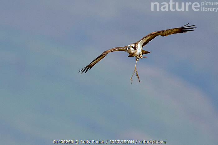 Osprey (Pandion haliaetus) female in flight with nesting material. Dyfi Estuary, Wales, UK, April. Taken with a Schedule 1 license from Countryside Council of Wales., 2020VISION,BIRDS,BIRDS OF PREY,CONSERVATION,EUROPE,FEMALES,FLYING,NESTING,OSPREYS,PANDIONIDAE,REINTRODUCTION,RIVERS,UK,VERTEBRATES,WALES,United Kingdom, Andy Rouse / 2020VISION