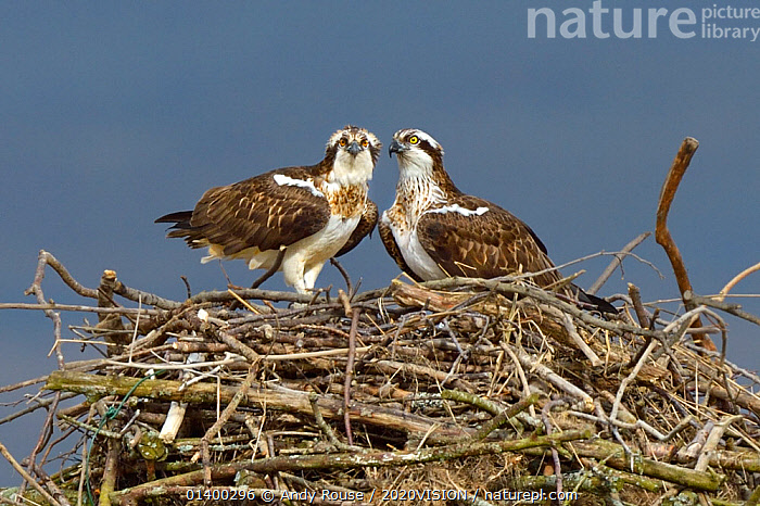 Osprey (Pandion haliaetus) male and female (Nora and Monty) on the nest. Dyfi Estuary, Wales, UK, April. Taken with a Schedule 1 license from Countryside Council of Wales., 2020VISION,BIRDS,BIRDS OF PREY,CONSERVATION,EUROPE,FEMALES,FLYING,LOOKING AT CAMERA,MALE FEMALE PAIR,NESTING,NESTS,OSPREYS,PANDIONIDAE,REINTRODUCTION,RIVERS,TWO,UK,VERTEBRATES,WALES,United Kingdom, Andy Rouse / 2020VISION