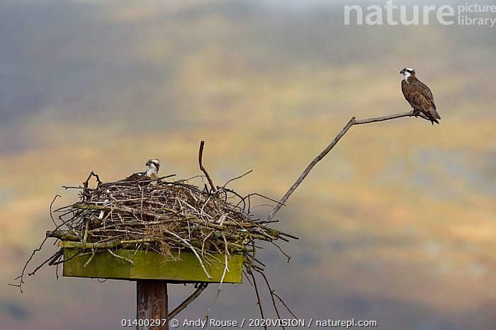 Osprey (Pandion haliaetus) male and female (Nora and Monty) on the nest. Dyfi Estuary, Wales, UK, April. Taken with a Schedule 1 license from Countryside Council of Wales., 2020VISION,BIRDS,BIRDS OF PREY,CONSERVATION,EUROPE,FEMALES,FLYING,MALE FEMALE PAIR,NESTING,NESTS,OSPREYS,PANDIONIDAE,REINTRODUCTION,RIVERS,TWO,UK,VERTEBRATES,WALES,United Kingdom, Andy Rouse / 2020VISION