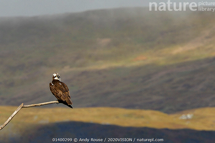 Osprey (Pandion haliaetus) male (Monty) perched. Dyfi Estuary, Wales, UK, April. Taken with a Schedule 1 license from Countryside Council of Wales., 2020VISION,BIRDS,BIRDS OF PREY,CONSERVATION,COPYSPACE,EUROPE,MALES,OSPREYS,PANDIONIDAE,REINTRODUCTION,RIVERS,UK,VERTEBRATES,WALES,United Kingdom, Andy Rouse / 2020VISION