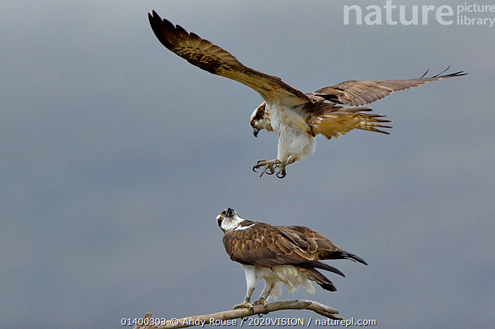 Osprey (Pandion haliaetus) male getting into position to mate. Dyfi Estuary, Wales, UK, April. Taken with a Schedule 1 license from Countryside Council of Wales., 2020VISION,BEHAVIOUR,BIRDS,BIRDS OF PREY,CONSERVATION,COPULATION,EUROPE,FLYING,MALE FEMALE PAIR,MATING BEHAVIOUR,OSPREYS,PANDIONIDAE,REINTRODUCTION,RIVERS,TWO,UK,VERTEBRATES,WALES,Reproduction,United Kingdom, Andy Rouse / 2020VISION