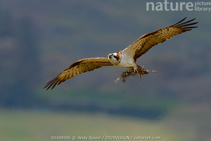 Osprey (Pandion haliaetus) female in flight with sticks as nesting material. Dyfi Estuary, Wales, UK, April. Taken with a Schedule 1 license from Countryside Counside of Wales., 2020VISION,BIRDS,BIRDS OF PREY,CONSERVATION,EUROPE,FEMALES,FLYING,NESTING,OSPREYS,PANDIONIDAE,REINTRODUCTION,RIVERS,UK,VERTEBRATES,WALES,United Kingdom, Andy Rouse / 2020VISION