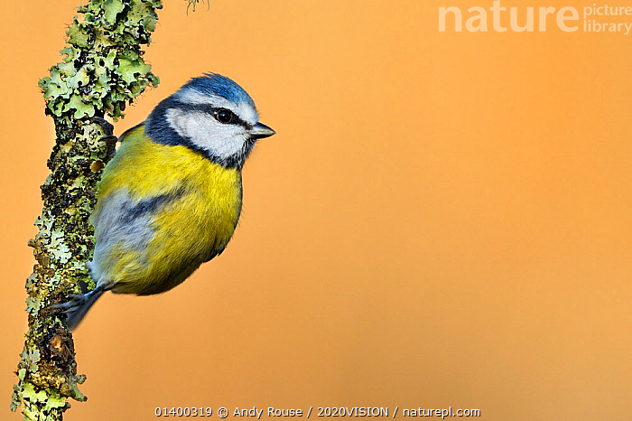 Blue Tit (Cyanistes / Parus caeruleus) perched on lichen-covered twig. Wales, UK, February. Did you know? The front of a Blue tit's head glows brightly under UV light, which is used by females to choose a mate., 2020VISION,BIRDS,BLUE,COLOURFUL,picday,COPYSPACE,EUROPE,PARIDAE,SONGBIRDS,TITS,UK,VERTEBRATES,WOODLANDS,YELLOW,United Kingdom,2020cc, Andy Rouse / 2020VISION