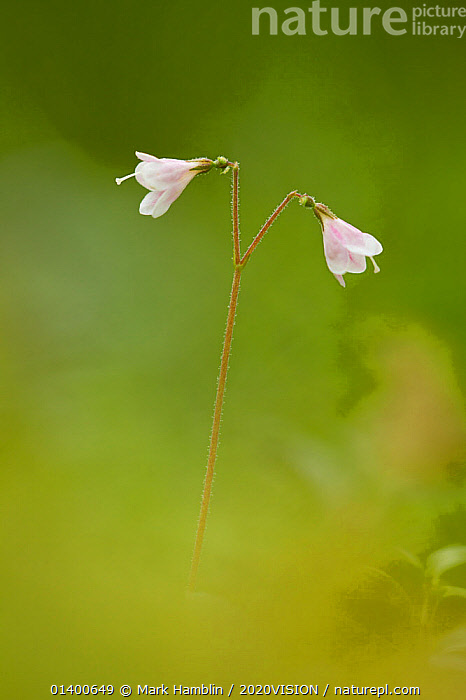 Twinflower (Linnaea borealis) in flower in pine woodland, Abernethy, National Nature Reserve, Cairngorms National Park, Scotland, UK  ,  2020VISION,CAPRIFOLIACEAE,CONIFEROUS,DICOTYLEDONS,EUROPE,FLOWERS,FORESTS,HIGHLAND,HIGHLANDS,NP,PLANTS,RESERVE,SCOTLAND,UK,VERTICAL,WILD FLOWERS,WILDFLOWERS,WOODLANDS,National Park,United Kingdom  ,  Mark Hamblin / 2020VISION