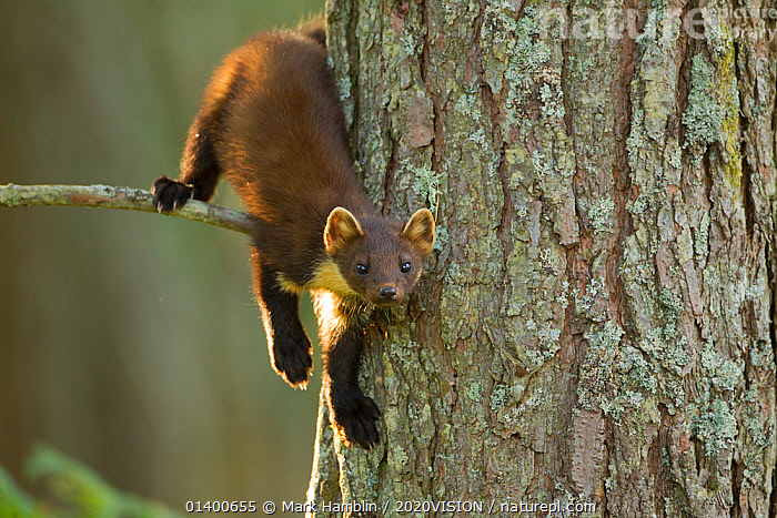 Pine marten (Martes martes) juvenile in pine tree in woodland, Beinn Eighe National Nature Reserve, Wester Ross, Scotland, UK, July. Highly commended, 'Animal Portraits' category, British Wildlife Photography Awards (BWPA) competition 2012. Did you know? Pine martens are born deaf and blind, and only become independent at 6 months old.  ,  2020VISION,BWPA book 2012,CARNIVORES,CONIFEROUS,EUROPE,PICDAY,FORESTS,HABITAT,highland,HIGHLANDS,MAMMALS,MARTENS,Mustelidae,MUSTELIDS,NP,PORTRAITS,RESERVE,SCOTLAND,UK,VERTEBRATES,WOODLANDS,National Park,United Kingdom  ,  Mark Hamblin / 2020VISION